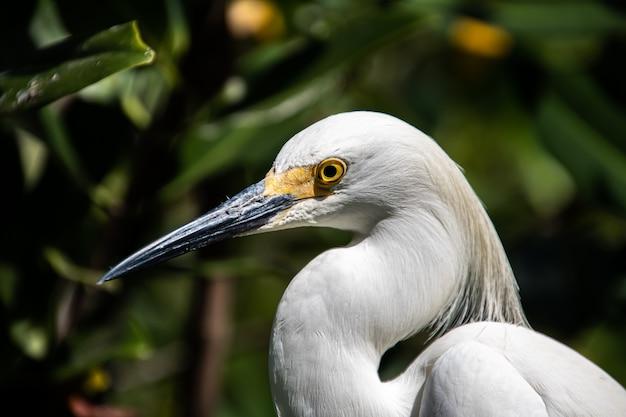 Vida selvagem, close-up de um grande fragata-branca
