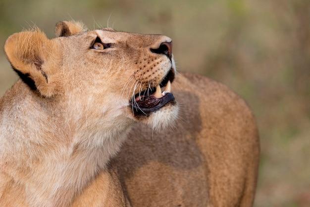 Vida selvagem do leão no quênia