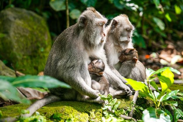 Vida selvagem, mãe macaco alimentando seu filho