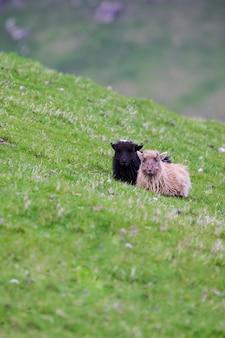 Vida selvagem nas ilhas faroé. ovelhas na ilha de vagar.