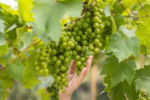 Videira de uva em uma fazenda