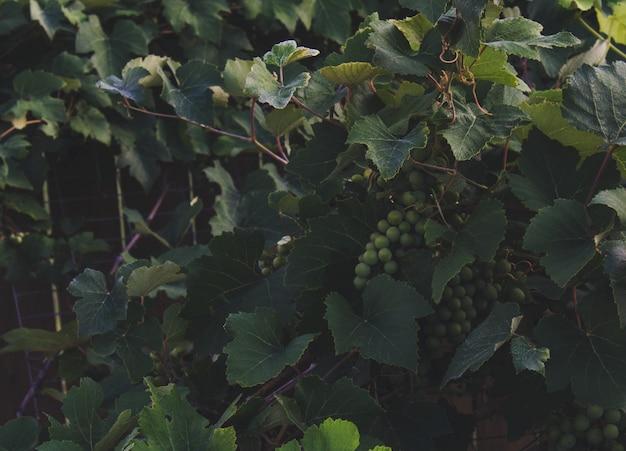 Videiras com uvas penduradas