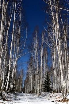 Vidoeiro branco e estrada branca em uma floresta na primavera
