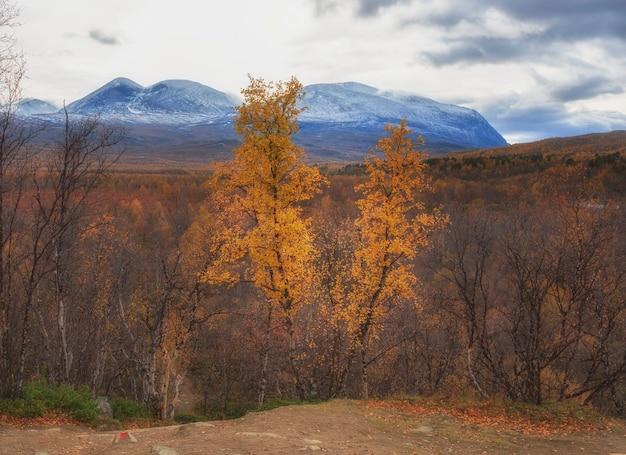 Vidoeiro dourado no fundo da montanha de duas cabeças no parque nacional abisko, no outono polar da suécia