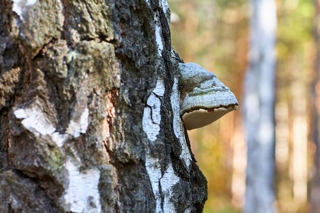 Vidoeiro inoperante velho na floresta com um crescimento do cogumelo.