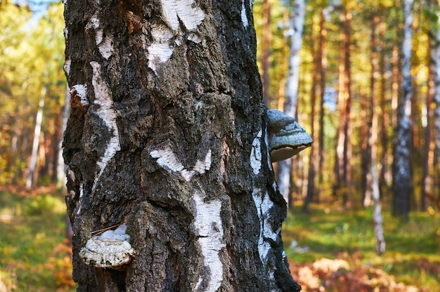 Vidoeiro inoperante velho na floresta com um fungo de expansão.