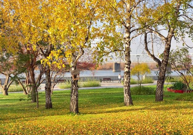 Vidoeiros da margem do rio ob. folhagem de outono em árvores e gramado, ponte ferroviária à distância