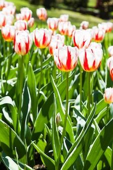 Villa taranto - itália. famoso jardim italiano com área dedicada ao cultivo de tulipas. tulipa da geração feliz.