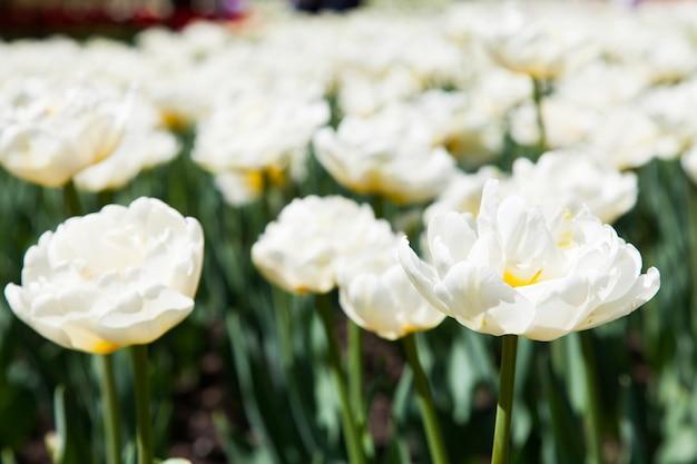 Villa taranto - itália. famoso jardim italiano com área dedicada ao cultivo de tulipas. tulipa de casablanca.