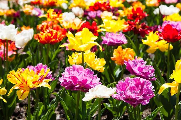 Villa taranto - itália. famoso jardim italiano com área dedicada ao cultivo de tulipas.