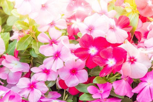 Vinca rosea flores desabrocham no jardim, folhagem variedade de cores flores, foco seletivo