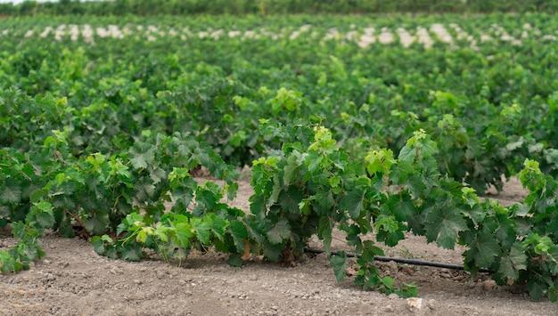Vinha com cultivo de uvas para vinho branco na sardenha, itália, malvasia