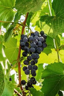 Vinha com folhas e um cacho de uvas, em um dia ensolarado de verão