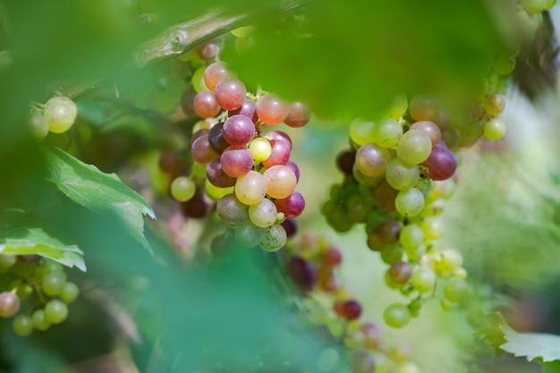 Vinha com uvas para vinho brancas na zona rural