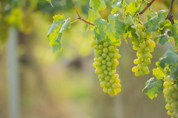 Vinha e cacho de uvas brancas no jardim da vinha.