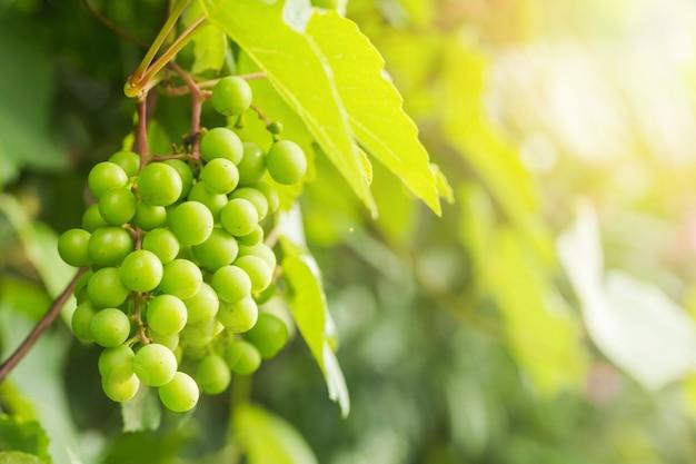 Vinha e cacho de uvas brancas no jardim sob as luzes do sol de verão