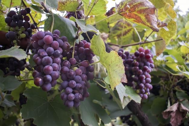Vinhas ao pôr do sol na colheita de outono. uvas maduras em queda.