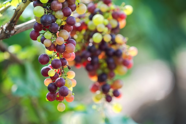 Vinhedo, com, branca, uvas vinho, em, campo, ensolarado, cachos, de, uva, pendure, ligado, a, videira