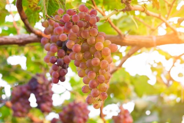 Vinhedo com uvas maduras prontas para serem vendidas