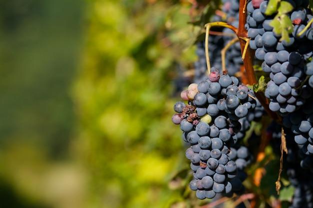 Vinhedo com uvas