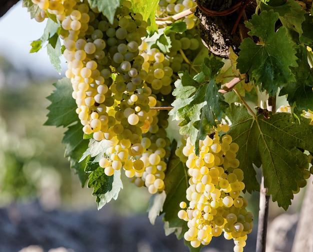 Vinhedo de tuscan com uvas vermelhas.