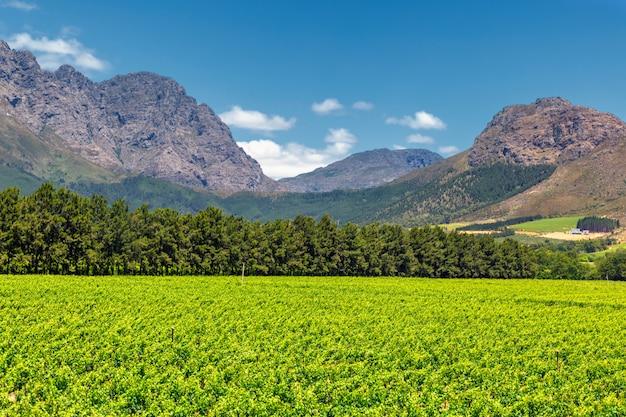 Vinhedo e as montanhas na cidade de franschhoek na áfrica do sul