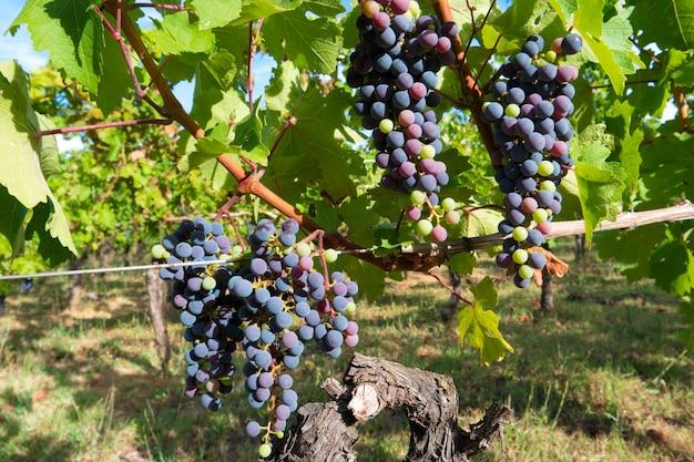 Vinhedo para a produção de vinho