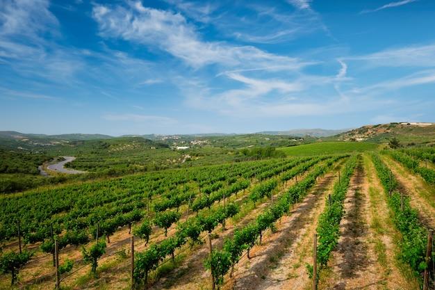 Vinícola com fileiras de uvas. ilha de creta, grécia