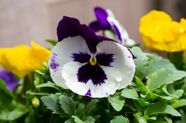 Viola tricolor, uma flor que cresce em um parque em um dia de verão