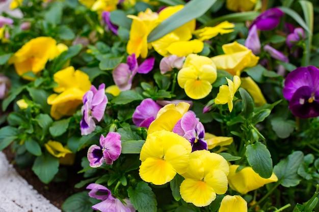 Viola tricolor var. hortensis. flor curta lance. folhas verdes escuras. flores nas folhas, desabrochando lindos olhos. plano de fundo de flores de duas cores