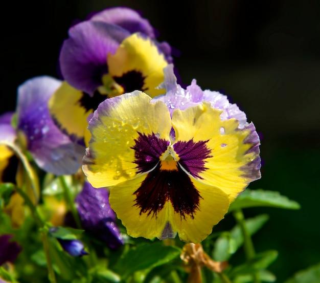 Violas ou amores-perfeitos de flores roxas e amarelas
