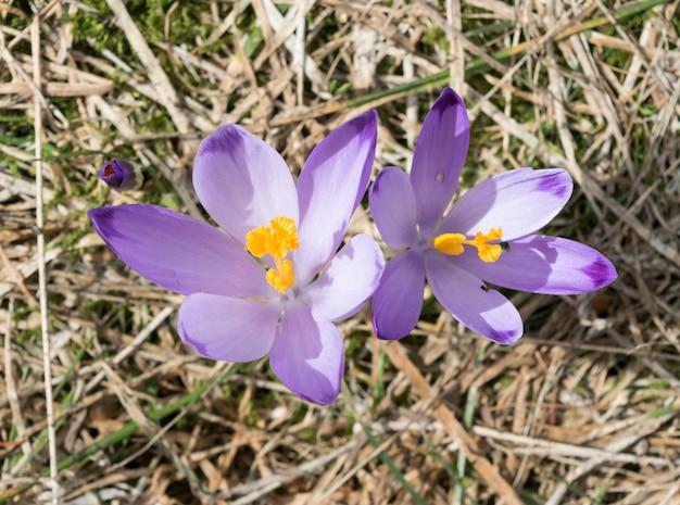 Violet violet croci ou crocus sativus no início da primavera. flor de açafrão alpino nas montanhas. paisagem de primavera