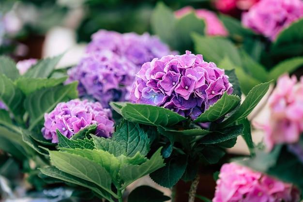 Violeta gerbera flores no jardim
