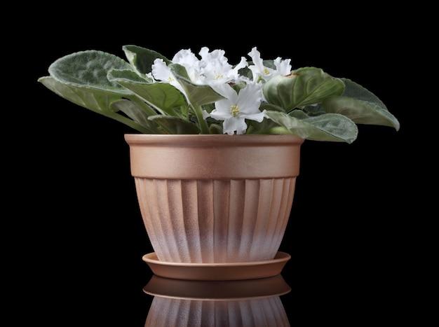 Violetas africanas com flores brancas em vaso isolado no fundo preto.