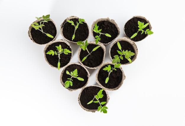 Visão aérea de mudas de tomate isolado em uns potenciômetros recicláveis eco biodegradáveis no fundo branco abstrato