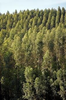 Visão ampla da plantação de eucalipto, para uso industrial