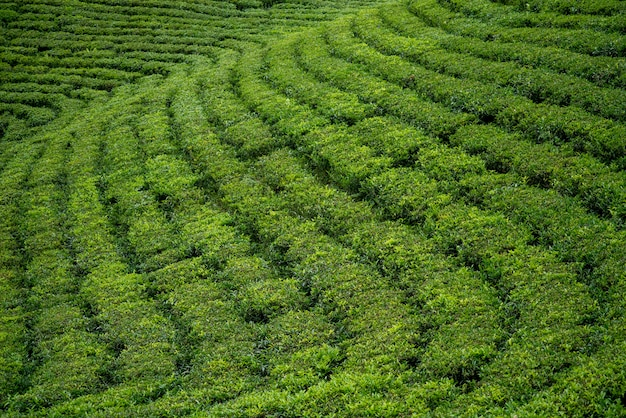 Visão ampla das plantações de chá verde em linha