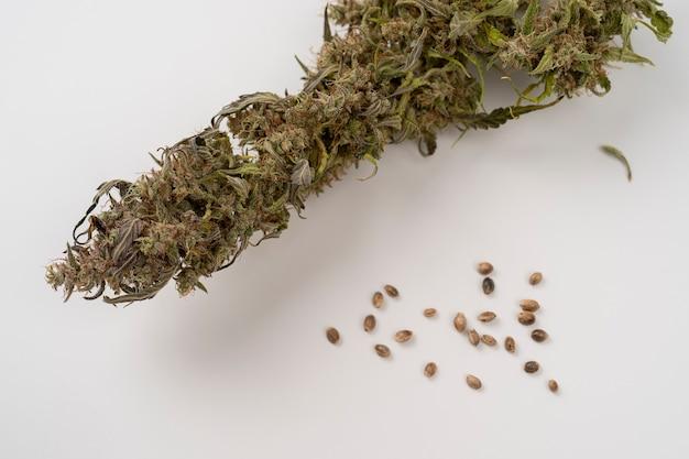 Visão aproximada de sementes de cânhamo e galho de cannabis seco em um conceito de uso médico de fundo branco