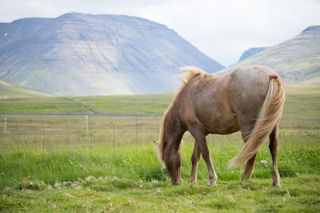 Visão cênica, de, islandês, cavalo, ligado, a, prado