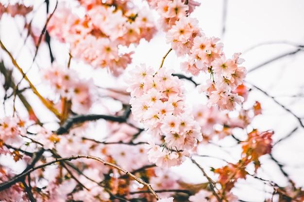 Visão de foco seletivo de belos ramos com flores de cerejeira
