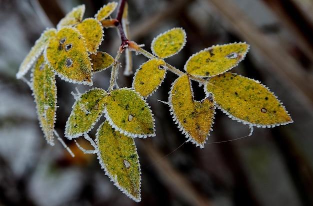 Visão de foco seletivo de folhas amarelas cobertas pela geada com um fundo desfocado