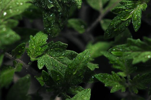 Visão de foco seletivo de orvalho em folhas com fundo escuro