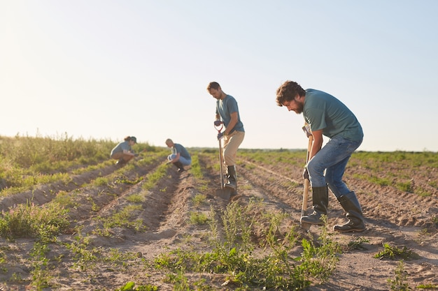 Visão de grande angular para trabalhadores escavando o solo com pás e plantando em plantações de vegetais ao ar livre iluminada pela luz solar, copie o espaço