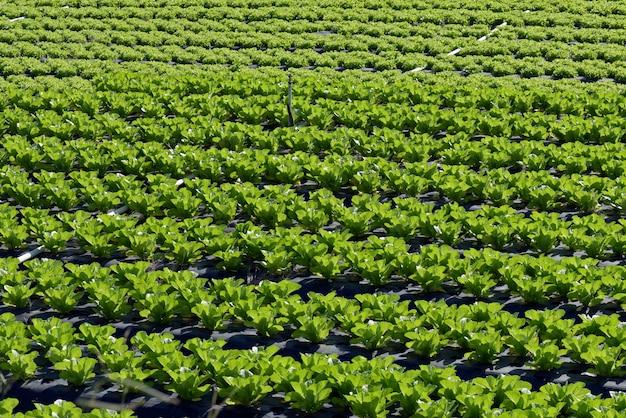 Visão geral da plantação de alface