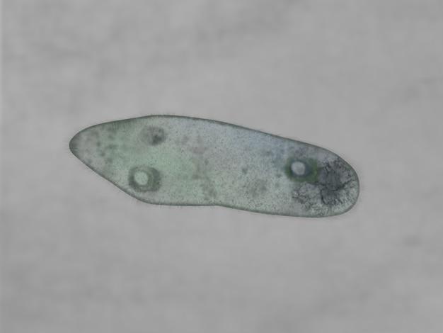 Visão microscópica de um paramecium