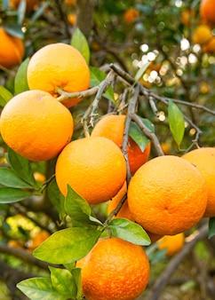 Visão vertical de lindas e deliciosas laranjas na árvore em um jardim
