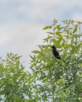 Visão vertical de um belo melro de asas vermelhas, sentado nas folhas de uma árvore