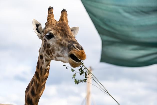 Visitantes do zoológico alimentando uma girafa de uma plataforma elevada.
