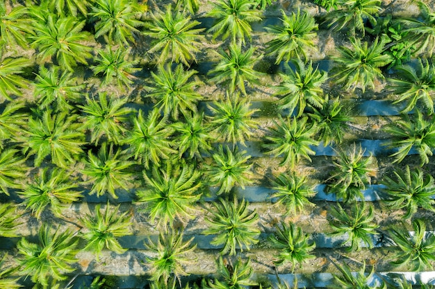 Vista aérea da plantação de coqueiros.