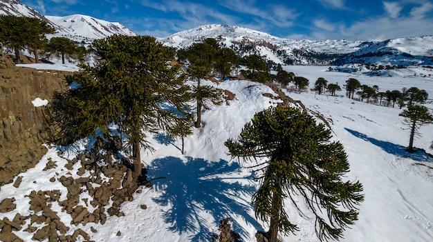 Vista aérea de araucárias com neve. ao fundo, você pode ver o vulcão copahue.